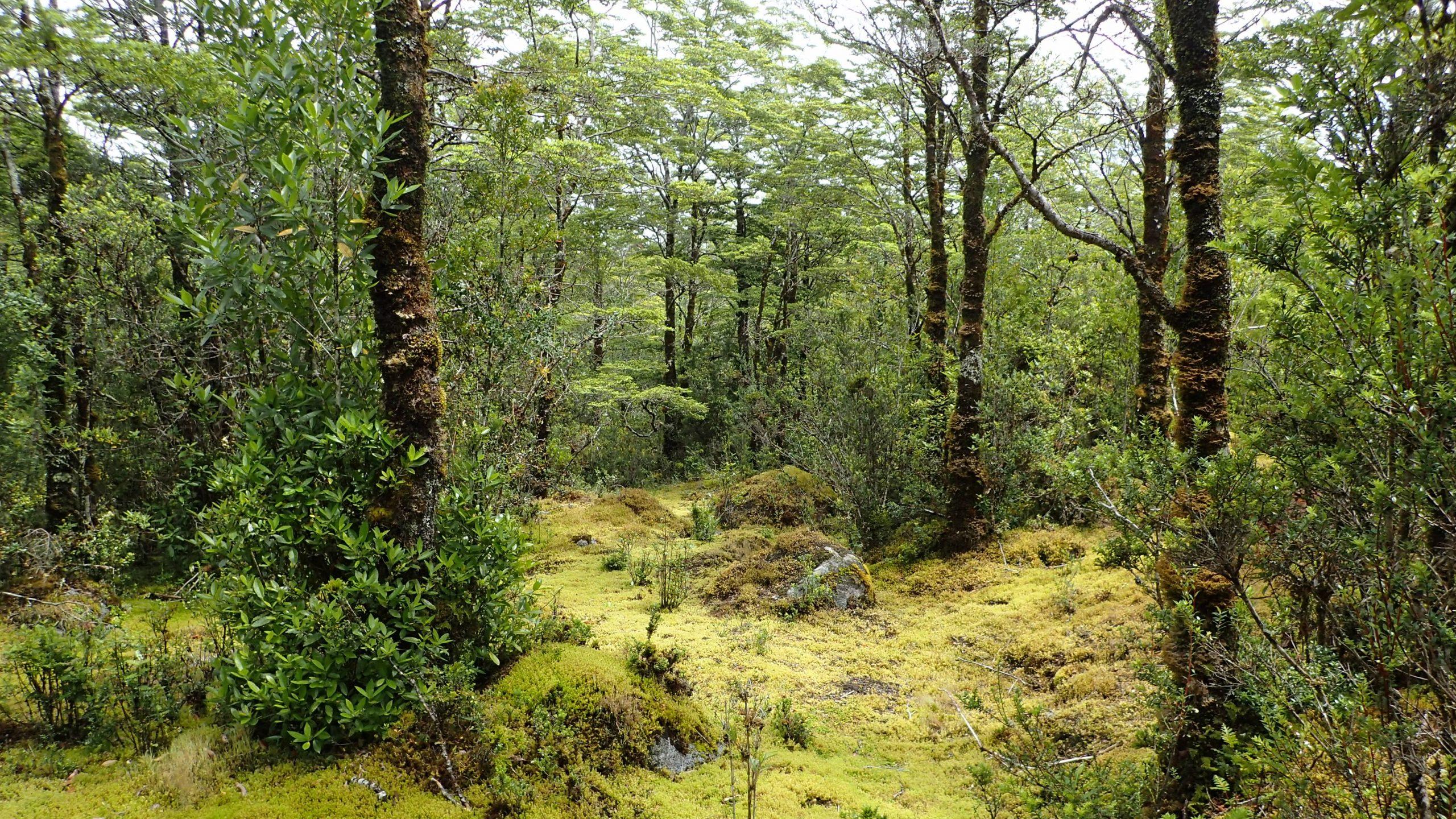 Mossy Valdivian rain forest