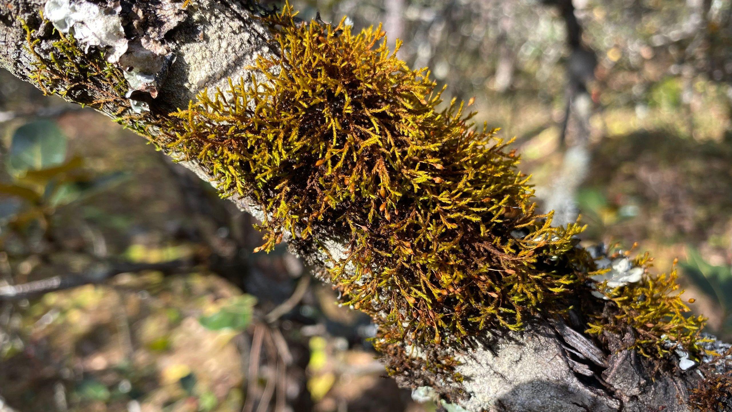 Macrocoma sp Yulong Snow Mountain N P- Yunnan