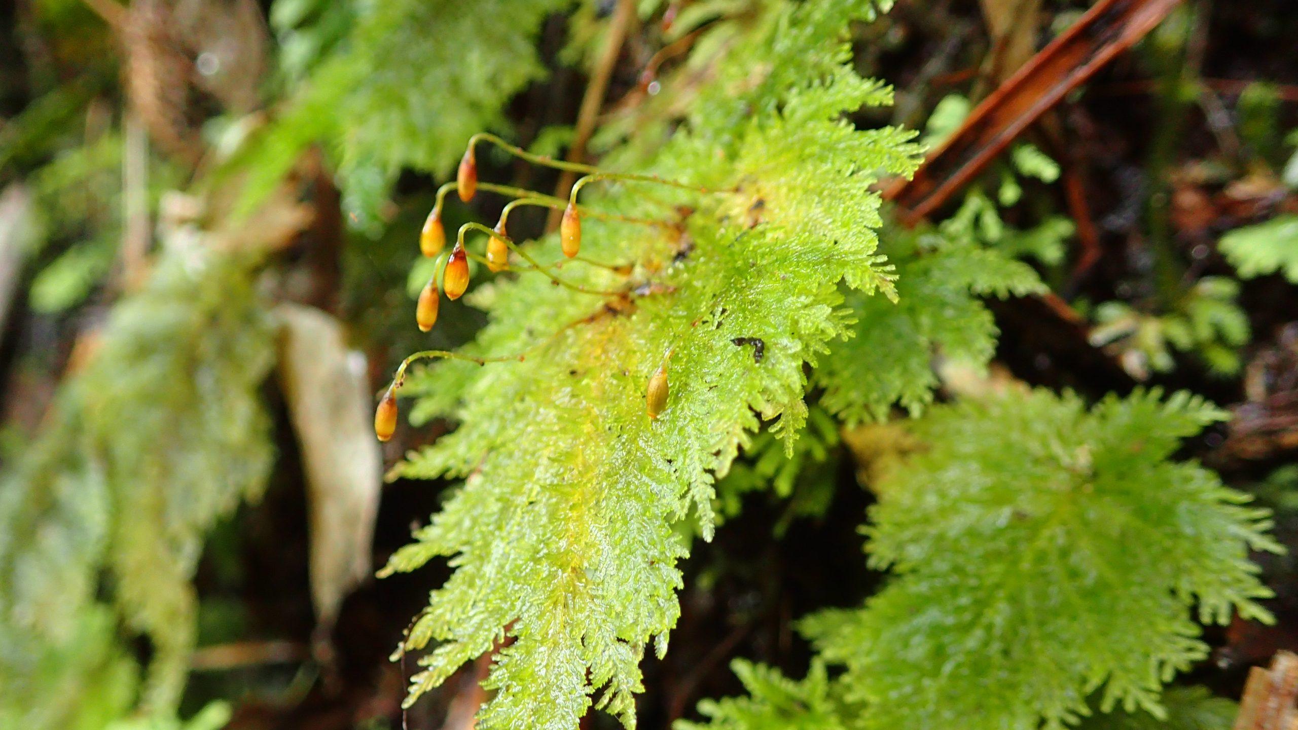 Dendrohypopterygium filiculiforme